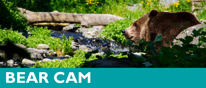 Watch the Bear Cam