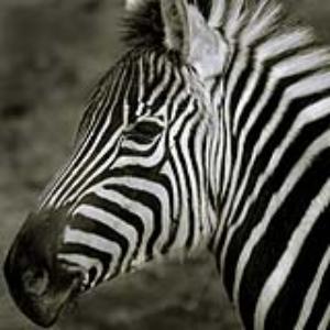 Zebra ZooParent