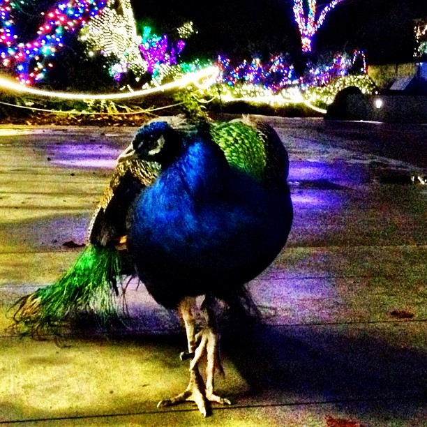 Peacock at WildLights