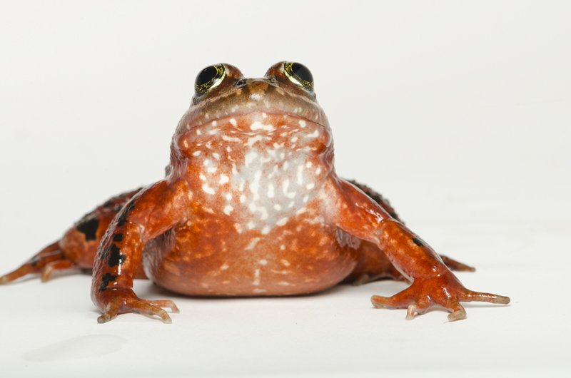 Oregon spotted frog conservation