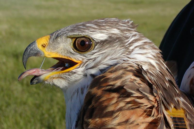 Raptors of the Shrub-steppe