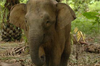 Hutan Asian Elephant