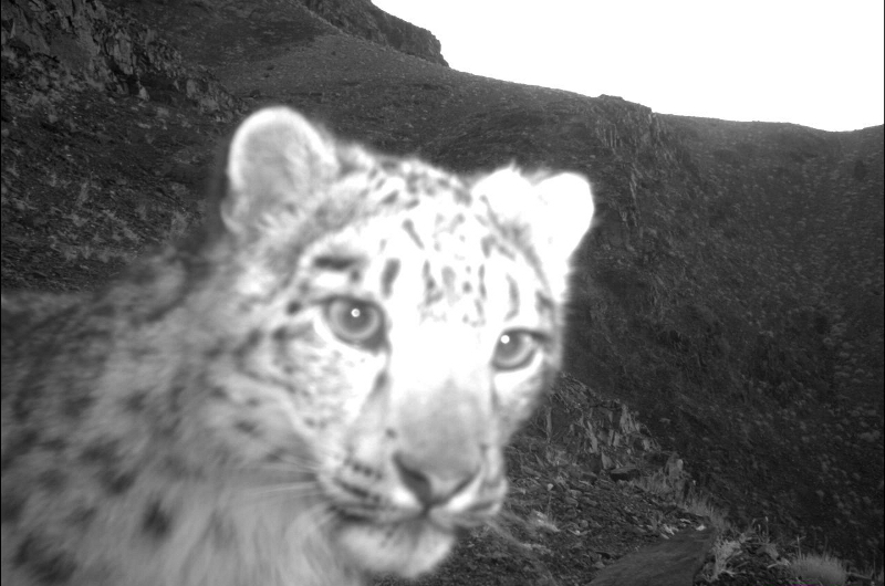 Snow Leopard Trust camera trap