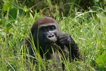 Mbeli Bai gorilla