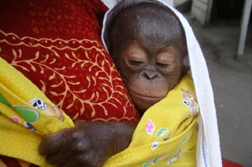 Gunung Palung Orangutan Conservation Project