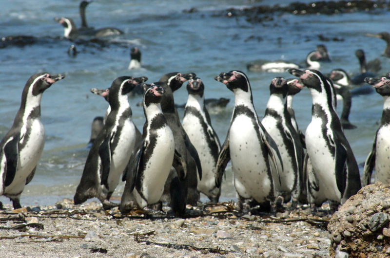 Wildlife Survival Fund - Penguins of Punta San Juan