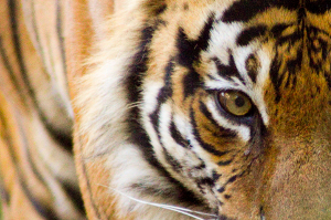 Malayan tiger conservation