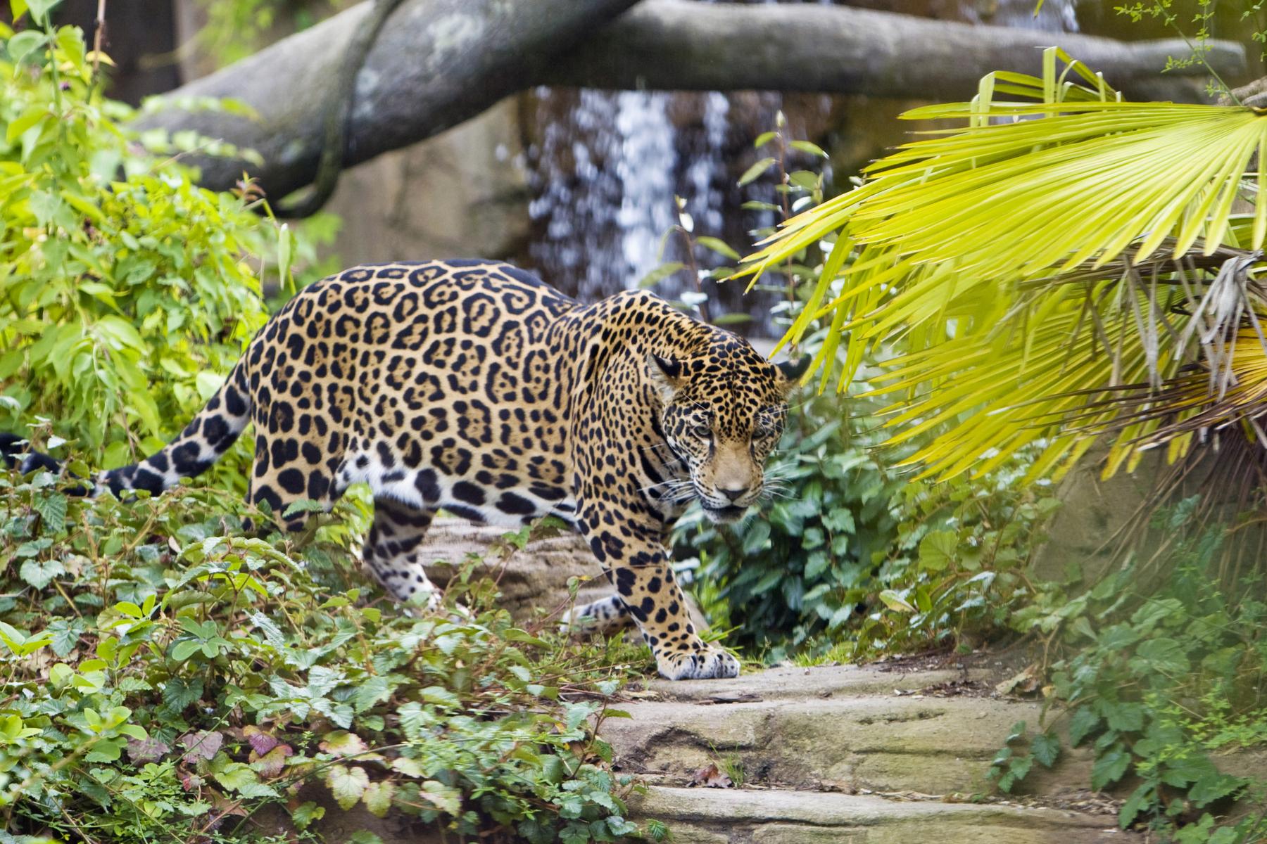 Jaguar Conservation an...