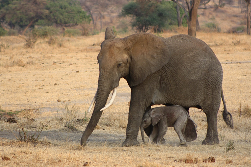 African elephant with baby.