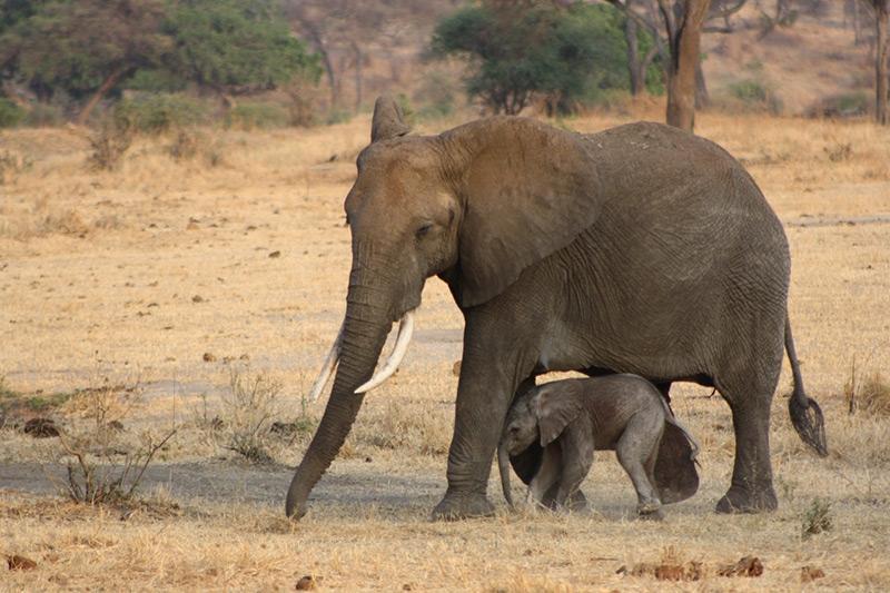Tarangire African elephants