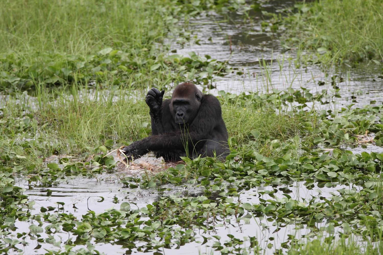Mbeli Bai Gorilla Study