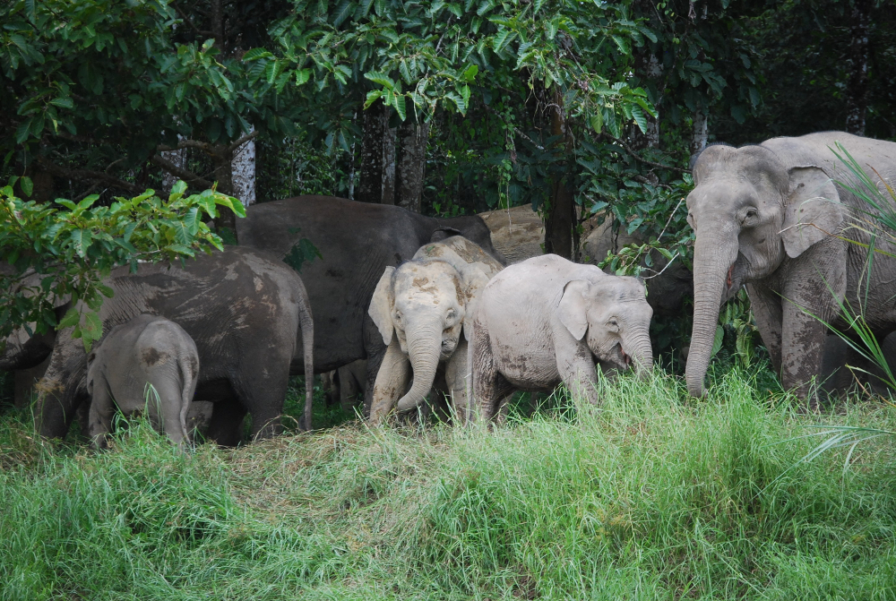 Elephant family in Kinabatangan, Hutan