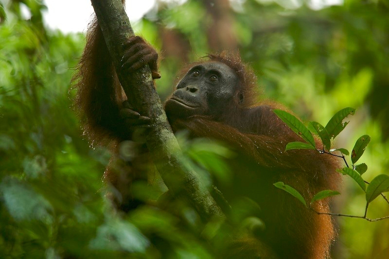 Orangutan in the wild. Photo by Tim Laman.