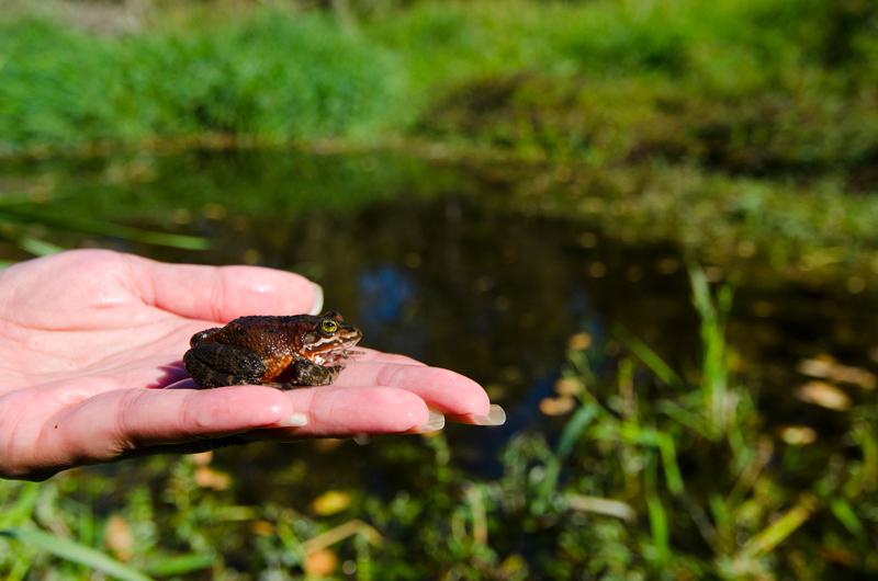 Oregon spotted frog released into wetlands