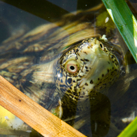 Western pond turtle just released