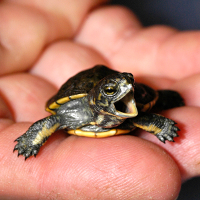 Pond turtle hatchling at zoo