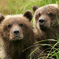 Wild bear cubs