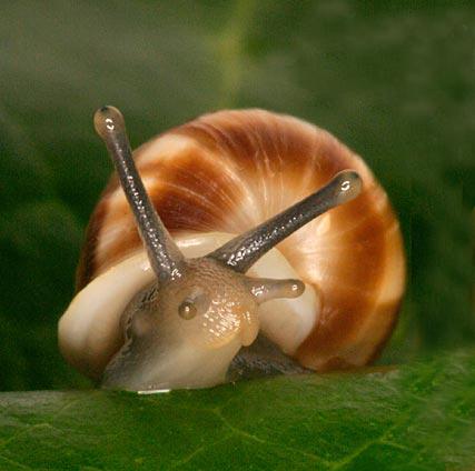 Partula snail