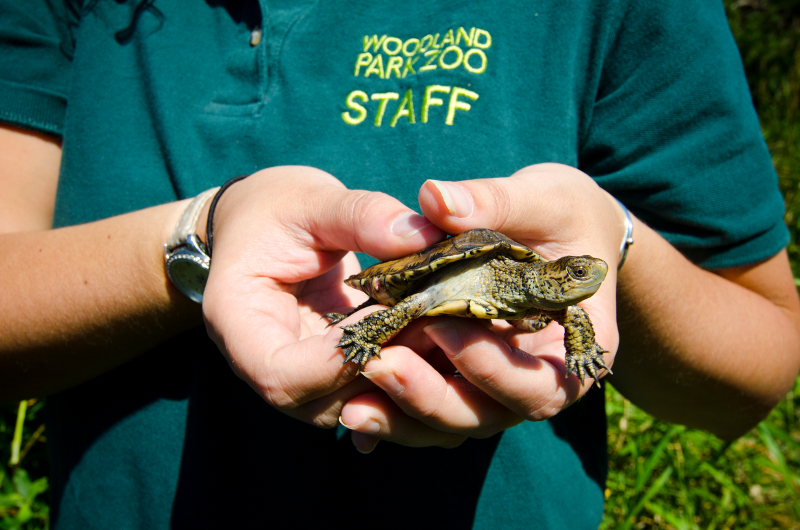 Western pond turtle released in South Puget Sound wetlands