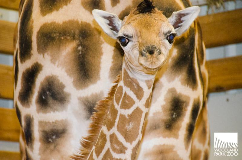 Giraffe born 8/6/2013