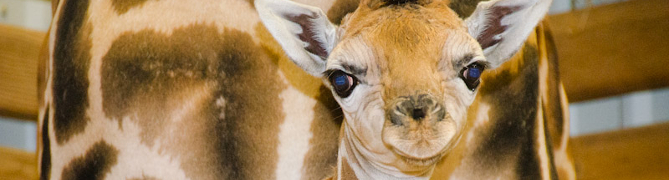 Giraffe baby cam