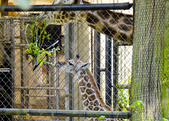 Baby Giraffe  Woodland Park Zoo Seattle WA