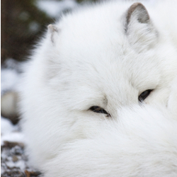 Arctic fox on thin ice