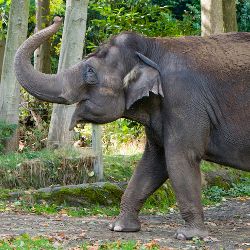 Asian elephant conservation