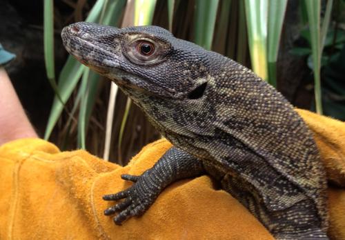Komodo dragon baby