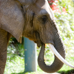 African elephant ZooParent