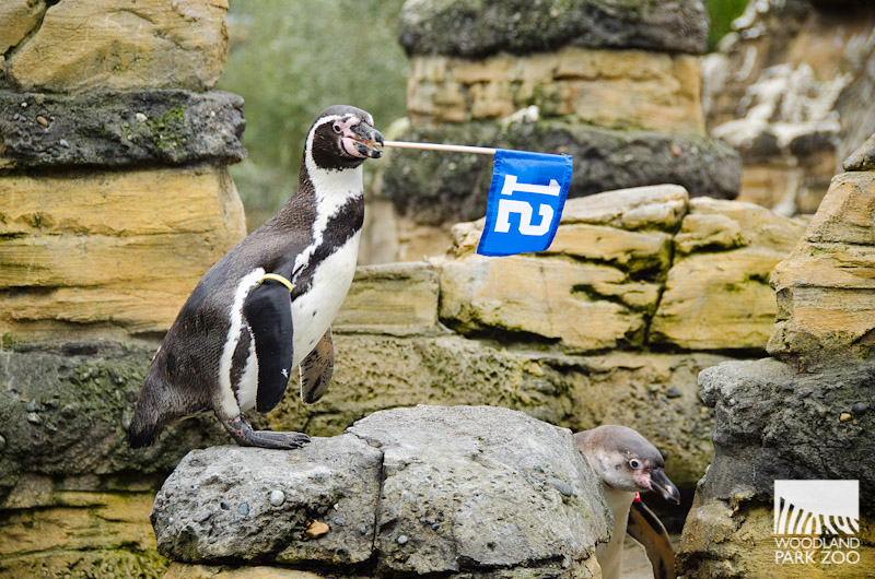 Cortez the penguin takes it to the next level, waving his flag for all the 12s out there.