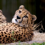 cheetah photo6057- squared.jpg